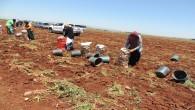 Soğan Hasadına başladı, Çiftçi de işçi de emeğinin karşılığını istiyor