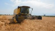 Arsuz ilçesinde Karakılçık Buğdayının hasadı yapılıyor