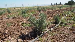 Hatay Büyükşehir Belediyesi Hatay'ın Tarım  ürünlerine değer kazandırıyor