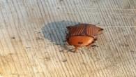 Hatay Büyükşehir Belediyesi'nden, ağaçlara zarar veren Böcek'e karşı önlem
