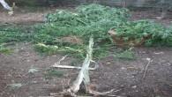 Defne Harbiye'de 4 dişi hint keneviri ile 35 gram kubar esrar yakalandı