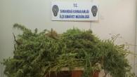 Samandağ Sutaşında 18 kök işi Hint keneviri yakalandı
