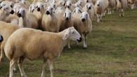 Koyun Hırsızları Jandarma'dan kaçamadı