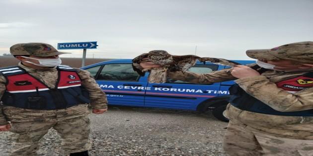 Jandarmalar yaralı Şahin'i yol kenarında buldu