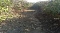 Mandalina bahçesinde 58 kök Dişi Hint keneviri yakalandı