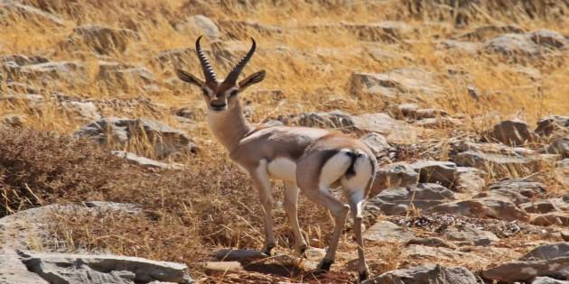 New York Tımes EXPO 2021 moskotlarında Gazella Gazella Ceylanlarına yer verdi
