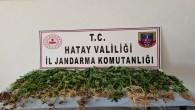 Jandarma kaçak 319 kök hint keneviri yakaladı