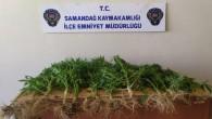 Samandağ'da saksılarda yetiştirilen hint keneviri yakalandı