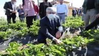 Hatay Valisi Rami  Doğan Yayladağı'nda Çilek ve Mantar  hasadına katıldı