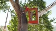 Hatay Büyükşehir Belediyesinden asırlık ağaçlara restore