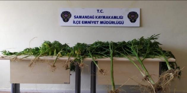 Samandağ ilçesinde 15 kök dişi  hint keneviri  bitkisi yakalandı