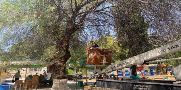 Antakya Belediyesinden ağaç budama çalışmalarına devam