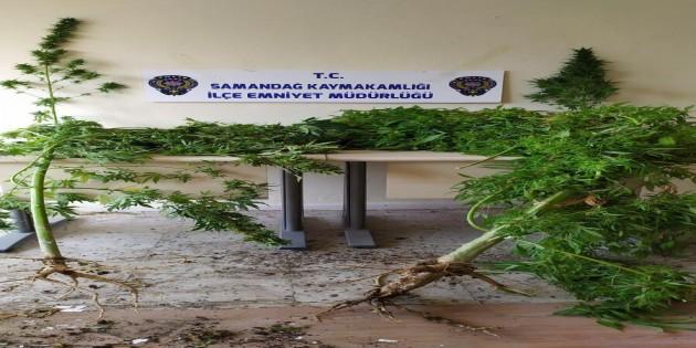 Samandağ'ında evlerde yetiştirilen Hint keneviri yakalandı
