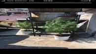 Belen ilçesinde Hint Keneviri 4 kök ile 235 gram gram kurutulmuş kenevir yakalandı