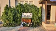 Jandarma Samandağ Gözene'de  12.526 gram esrar ile 424 kök kenevir bitkisi ele geçirdi