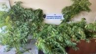 Samandağ'da bir evde 11 kök hint keneviri yakalandı